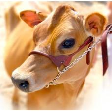 Oak Rounded Cattle Show Halter